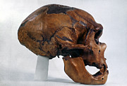 Artifact Photos - Neanderthal Skull by Granger