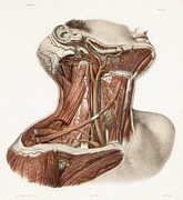 Hand-colored Lithograph Framed Prints - Neck Vascular Anatomy, Historical Artwork Framed Print by 