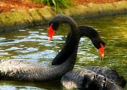 Black Swan Prints - Necking Print by Mick Burkey