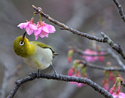 Warbler Photos - Nectar by Karen Walzer