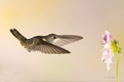 Hummingbird In Flight Posters - Nectar Seeking Missile Poster by Gerry Sibell