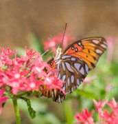 Gulf Fritillary Photos - Nectaring by Betty LaRue