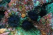 Sami Sarkis - Needle Sea Urchin