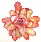Neoregelia Paintings - Neoregelia Small Wonder by Penrith Goff