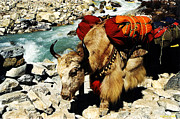 Mt Everest Base Camp Prints - Nepalese Yak Print by Craig Schultz