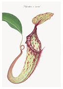 Nepenthes Drawings Posters - Nepenthes x mixta Poster by Scott Bennett
