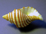 Beachcombing Framed Prints - Neptune Whelk Seashell Framed Print by Frank Wilson