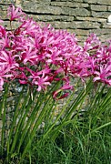 Tepals Framed Prints - Nerine Bowendii Framed Print by Bob Gibbons