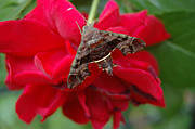 Plants From My Garden - Nessus Sphinx Moth on Red Rose by Tom Wurl