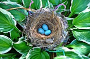 Sherri Brown - Nest in Hosta
