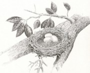 Nest Drawings - Nest of eggs by H C Denney