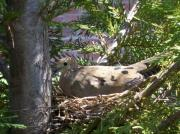 Deborah Anderson - Nested Mourning Dove