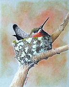 Hummingbird Drawings Metal Prints - Nesting Anna Metal Print by Phyllis Howard