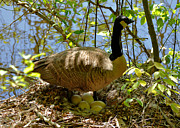 Nesting Canada Goose In The Heat Of The Day - C0567c Print by Paul Lyndon Phillips