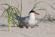 Tern Metal Prints - Nesting Common Tern Metal Print by Clarence Holmes