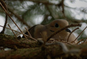 Mourning Dove Posters - Nesting Dove Poster by Randy Bodkins