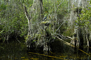Florida Wildlife Photography Posters - Nesting in Big Cypress Poster by David Lee Thompson