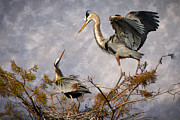 Blue Heron Framed Prints - Nesting Time Framed Print by Debra and Dave Vanderlaan