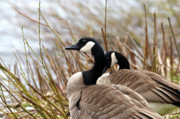 Canada Geese Prints - Nesting Time Print by Sharon  Talson