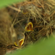 Shotwell Photography Prints - Nestlings Print by Kathi Shotwell