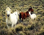 Nevada Wild Horses Print by Marty Koch