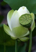 Lotus Seed Pod Posters - New Beginnings Poster by Sabrina L Ryan