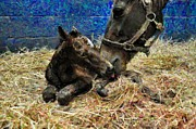 Terry Digital Art - New born foal by Terry Sita