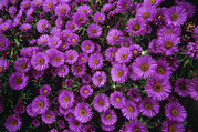Aster  Photo Framed Prints - New England Aster purple Dome Framed Print by Adrian Thomas