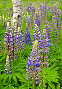 Blue Flowers Photos - New England Lupine by Thomas Schoeller