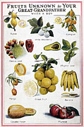 Alligator Pear Framed Prints - NEW FRUITS, c1950s Framed Print by Granger