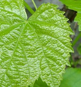 Grape Leaf Prints - New Grape Leaf Macro Print by Padre Art