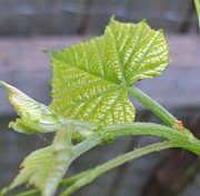 Grape Leaves Posters - New Grape Leaves Macro Poster by Padre Art