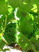 Grapes Green Posters - New Grapes Poster by Kim Pascu