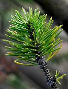 Conifer Tree Prints - New Growth Print by Marilynne Bull