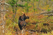 Bull Moose Posters - New Hampshire Bull Moose Poster by Catherine Reusch  Daley