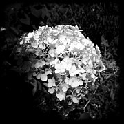 Light And Dark  Digital Art Posters - New Hydrangea Poster by Christy K Heffernan