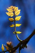 Backlit Prints - New Leaves on Poplar Print by Ray Laskowitz - Printscapes