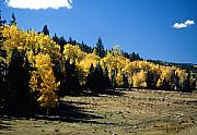 Aspen Prints - New Mexico Aspen Print by Troy Montemayor
