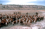 Cattle Ranch Prints - New Mexico Cattle Drive Print by Jerry McElroy