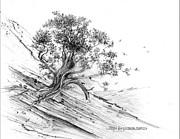 Jim Hubbard - New Mexico-Pinyon Pine