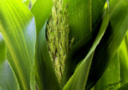 Corn Digital Art Posters - New Silk Poster by Kristin Elmquist