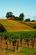 Vineyard Landscape Posters - New Vineyard Poster by Gary Brandes