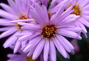 Aster  Photo Framed Prints - New York Aster (aster Novi-belgii) Framed Print by Dr. Nick Kurzenko