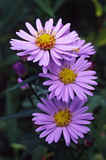 Aster  Framed Prints - New York Aster Flowers (aster Sp.) Framed Print by Dr. Nick Kurzenko