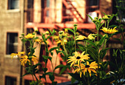 Black Eyed Susans Framed Prints - New York City Flowers Along the High Line Park Framed Print by Vivienne Gucwa