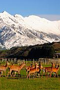 New Zealand Deer 3497 Print by PhotohogDesigns