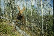 Quaking Aspen Posters - Newborn Calf Moose Stands In A Quaking Poster by Michael S. Quinton