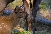 Newborn Elk Print by Sean Griffin