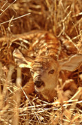 Looking At Camera Digital Art - Newborn Fawn by Mark Duffy
