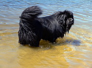 Dog In Lake Prints - Newfie Cooling Off Print by Sally Weigand